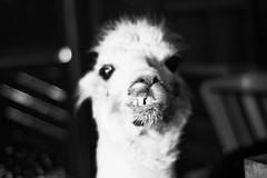 (CarbonNYC [in SF!]) Tags: bw gandalf sfzoo alpaca animal crookedsmile kook kooky mouth nose smile teeth white