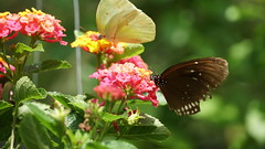 2019-02-11_12-40-43_ILCE-6500_DSC02786 (Miguel Discart (Photos Vrac)) Tags: 156mm 2019 animal animalphotography animals animalsupclose animaux butterfly chiangmai e18135mmf3556oss fleurs flowers focallength156mm focallengthin35mmformat156mm holiday ilce6500 iso125 nature naturephotography papillon pet sony sonyilce6500 sonyilce6500e18135mmf3556oss thailand thailande travel vacances voyage