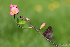 c'est le printemps (gael611) Tags: papillon butterfly farfalle insecte insekt bug nature proxy macro printemps vanesse nymphalidae