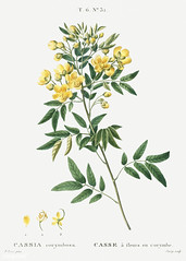 Argentine senna (Cassia corymbosa) illustration from Traité des