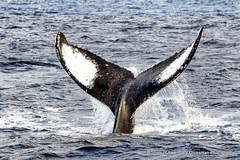 Fluke (Gary Grossman) Tags: whale humpback fluke ocean pacific hawaii maui mammal wild wildlife garygrossman garygrossmanphotography wildlifephotography humpbackwhale winter feburary hawaiianislandshumpbackwhalenationalmarinesanctuary