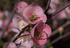 A splash of color (Irina1010) Tags: bush blooming flowers pink floweringquince nature spring bokeh canon coth5 ngc npc