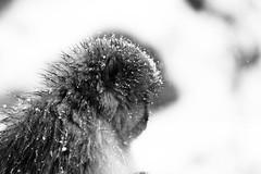 Snow proof monkey (Elios.k) Tags: horizontal outdoors nopeople monkey one wet snowmonkey snow snowing bokeh cold warmspring bath bathing onsen hotspring animal nature japanesemacaque japanesesnowmonkey winter fur dof depthoffield focusinforeground backgroundblur blackandwhite monochrome mono bw travel travelling december 2017 vacation canon 5dmkii camera photography yudanaka yudanakaonsen shibuonsen yamanouchiarea jigokudanivalley monkeypark joshinetsukogennationalpark yokoyuriver chūbu chubu kōshinetsu naganoprefecture honsu asia japan jigokudaniyaenkoen swimming