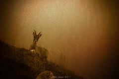 Révélation Matinale (Frédéric Fossard) Tags: faune bouquetin montagne mountain faunealpine alpes hautesavoie texture grain lumière light art surréaliste surreal matin atmosphère mood massifdesaiguillesrouges