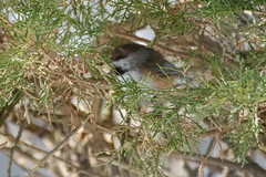 Yes! I mean no, but yes! (karrooite) Tags: borealchickadee poecilehudsonicus nj merrillcreekreservoir