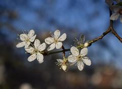 Blossom #1 (MJ Harbey) Tags: blossom whiteblossom tree garden prunus flower buckinghamshire nikon d3300 nikond3300 cherryplumblossom