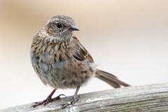 Dunnock (steveoutdoors57) Tags: dunnock bird wildlife