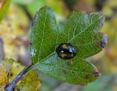Harmonia axyridis (rockwolf) Tags: harmoniaaxyridis harlequin ladybird coccinellidae coccinelle beetle insect coccinelleasiatique uptonmagna shropshire rockwolf