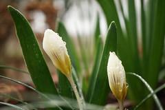 Pluie de printemps... (passionpapillon) Tags: macro fleur flower crocus printemps goutte drop bokeh jardin garden passionpapillon 2019 natureinfocusgroup