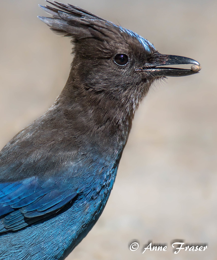 c729386dade A portrait with a pebble (Anne Marie Fraser) Tags: bird jay stellersjay  california