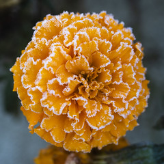 Frosted Orange (adamopal) Tags: canon canon7d canon7dmarkii frostedorange frosted orange orangeflower flower floral fall2018 outside macro macro100mm 100mm white grey green
