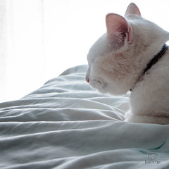 Daydream (francoislinde) Tags: daydream canon instagram centurion 2017 squarecrop dreamy house pristine eos happy april sunny companion cat southafrica home clean sammy indoors tranquil dream window day pet animal friendly clear feline drift fresh doze bed white