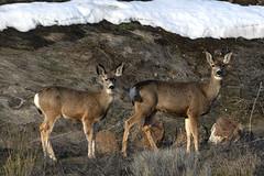 DSC_5165 Momma Mule Deer and young one (futzr.fotoz) Tags: centralwashington yakimacounty muledeer rozairrigation sage brushnaturewildlifesnowblue skysilhouettealterpacific northwest