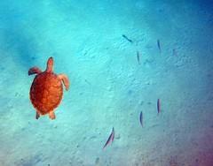 "Sea Turtle (James Patterson) Tags: ""westindies"" caribbean barbados ""seaturtle"" turtle"