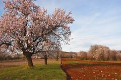 Spring in Radosinovci (Vid Pogacnik) Tags: hrvatska croatia dalmatia spring village radošinovci tree field