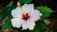 Hibiscus (Borreltje.com) Tags: kleincostarica costarica tropical tropics someren nature wildlife nikon animalphotography