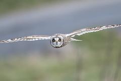 D85_7040 (WildKernow) Tags: see shortearedowl cornwall newquay uk owl