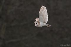 LQ5A3761 (larysaflack) Tags: barn owl hunting bird prey