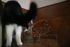 Sonya (sogni_hal) Tags: animal cat chat feline pet