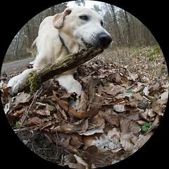 Iva (glaserei) Tags: labrador labi hunde hund haustier goldie retriever iva