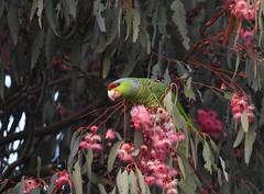 Lilac-crowned Parrot (Christopher Lindsey) Tags: lilaccrownedparrot redlands sanbernardinocounty california birds birding