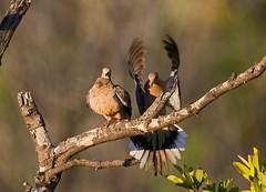 Mourning dove (Zenaida macroura) - Playa Pesquero, Holguin, Holguín Province, Cuba - Feb 2019 (Dis da fi we) Tags: mourning dove zenaida macroura playa pesquero holguín province cuba bird branch