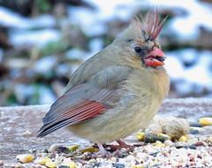 Bad Hair Day (Pittsburgh Cam Miller) Tags: femalecardinal northerncardinal westernpa molting cardinal