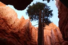 Bryce Canyon (olgatticus) Tags: tree rocks canyon bryce brycecanyon usa arizona utah nature