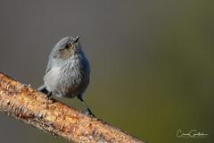 Things are looking up! (craig goettsch) Tags: bushtit male bird avian nature wildlife animals nikon d850