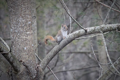 Red Squirrel in Tree (rgdaniel) Tags: squirrel redsquirrel twitchy rodent animals wildlife