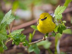 The Warblers Are Coming! The Warblers Are Coming! (Doug Scobel) Tags: bluewinged warbler vermivora cyanoptera magee marsh bird wildlife nature woodwarbler