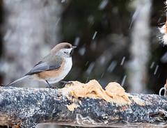 borealchickadee-6918 (h.redpoll) Tags: borealchickadee minnesota saxzimbog winter