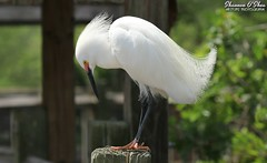 The agony of de-feet (Shannon Rose O'Shea) Tags: shannonroseoshea shannonosheawildlifephotography shannonoshea shannon snowyegret egret bird beak feathers skinnylegs birdyfeet longtoes egrettathula white plumage lores breedingplumage yelloweye pinklores pinkfeet alligatorbreedingmarshandwadingbirdrookery gatorland orlando florida flickr wwwflickrcomphotosshannonroseoshea smugmug gatorlandbirdrookery rookery nature wildlife waterfowl outdoors outdoor outside colorful colourful art photo photography photograph wild wildlifephotography wildlifephotographer wildlifephotograph birdphotographer naturephotographer camera canon canoneos80d canon80d canon100400mm14556lisiiusm eos80d eos 80d canon80d100400mmusmii closeup close talons claws headfeathers tailfeathers femalephotographer girlphotographer womanphotographer throughherlens shootlikeagirl shootwithacamera