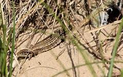 Adult common lizard (Lancs & Lakes Outback Adventure Wildlife Safaris) Tags: nikon d3300 18300mm lizard commonlizard viviparouslizard sanddunes dunes stannes fylde lancashirewildlifetrust scales eye sand beach ribble estuary feet