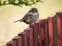 HFF (Klas-Goran Photo) Tags: hff bird