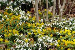 Spring Bonanza (Renata Lenartowicz) Tags: spring springflowers snowdrops