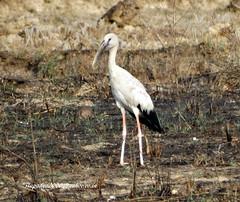 DSC04095 Asian Openbill (Anastomus oscitans) (vlupadya) Tags: greatnature aves fauna indianbirds asian openbill stork anastomus kundapura karnataka