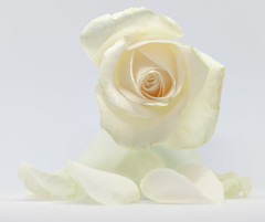 White on white - [MacroMondays_20190107] (Arranion) Tags: macromondays whiteonwhite macro macromonday monday mondays flower flowers rose beauty beautiful nature naturefocus petals canon eos 5d2 ef 70200mm f4 l