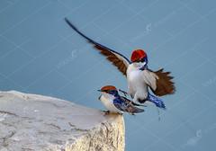_MG_0678s (TARIQ HAMEED SULEMANI) Tags: sulemani tariq tourism trekking tariqhameedsulemani winter wildlife wild birds nature nikon