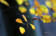 Automne - Bois de Staneux - novembre 20162016-11-12 15-54-17_242 mod et signee (vincent.lempereur) Tags: wood forêt forest bois nature automne autumn feuille feuilles