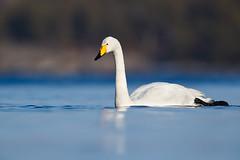Whooper Swan | sångsvan | Cygnus cygnus (Daniel.Pettersson) Tags: cygnuscygnus whooperswan sångsvan birds bird fåglar fågel aves sweden