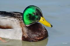 """""""Quelles couleurs !"""" (leguen.maxime) Tags: canard colvert animal oiseau vert jaune couleurs nature 2019 loire loiret balade photo"""