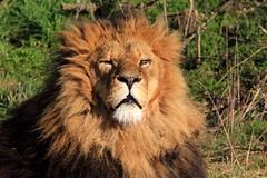 Lion - YWP - 2019-02-14 (BillyGoat75) Tags: lion male bigcat animal nature yorkshirewildlifepark branton doncaster southyorkshire