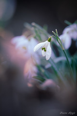 """Ambiance froide"" (regisfiacre) Tags: galanthus nivalis perce neige perceneige snowdrops blanc white weiss winter hiver fleur flower flore flora blume prairie meadow pétales botanique couleurs colors bokeh nature sauvage wild wildlife macro macrophoto macrophotography macrophotographie canon 5div mark iv 4 plein format full frame sigma 150mm apo ex dg os hsm moselle france"