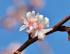 Spring (Hugo von Schreck) Tags: hugovonschreck flower blume blüte spring frühling macro makro canoneos5dsr tamron28300mmf3563divcpzda010
