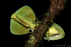 Peruvian shield mantis (Choeradodis rhombicollis) (edward.evans) Tags: peruvianshieldmantis shieldmantis choeradodis choeradodisrhombicollis insect macro mantis prayingmantis mantodea costarica rainforest wildlife nature chachagua lafortuna arenal arenalvolcanonationalpark arenalvolcano mantid