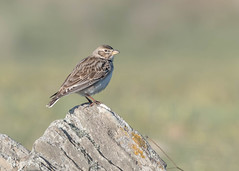 Calandra Lark (tickspics ) Tags: calandralark birds spain europe extremadura magascaplains alaudidae melanocoryphacalandra