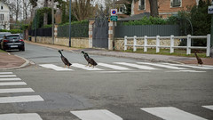 Funny photo of the day (3/3) : Black Indian Runner Ducks cross a zebra crossing (Franck Zumella) Tags: black indian runner duck coureur indien canard noir portrait bird oiseau lake lac eau water female male green dark sombre nature animal fun funny laugh laughing road street route rue cross zebra crossing passage cloute traverser clouté