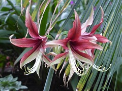 Chicago, Garfield Park Conservatory, Pink/Red Lily Trio (Mary Warren 12.8+ Million Views) Tags: chicago garfieldparkconservatory nature flora plants green leaves foliage red pink three trio blooms blossoms flowers lily lilies
