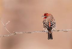 House Finch male (Lynn Tweedie) Tags: wood housefinch male tail 7dmarkii feathers branch beak bird wing eos sigma150600mmf563dgoshsm canon missouri ngc animal